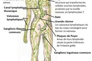 Effets des ventouses sur le système lymphatique : ventousothérapie lymphatique